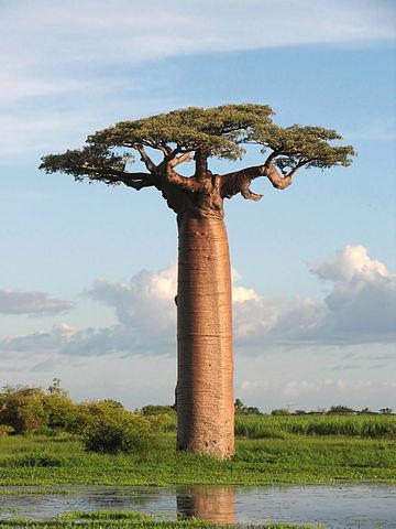 Grandidier's Baobab op Madagascar. Foto: B. Gagnon. CC 3.0, GFDL.