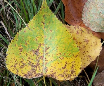 Blad van Populus, aangetast door de roestschimmel Melampsora larici-populina. Bron: Wikimedia, GFDL.