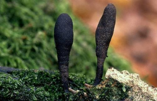 Esdoornhoutknotszwam ( Xylaria longipes). Foto: Dinant Wanningen. Bron en copyright: Allesoverpaddenstoelen