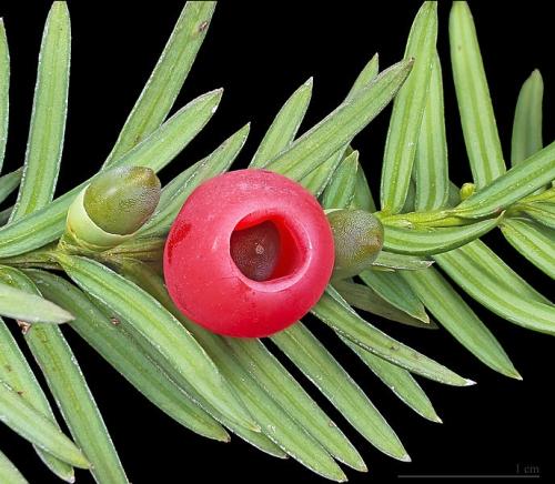 Venijnboom (Taxus baccata). Foto en copyright: D. Descouens, CCA-SA 4.0.