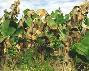 Bananenplanten aangetast door Black Sigatoka ( Mycosphaerella fijiensis); Bron en copyright APS