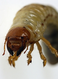 Kop van een engerling van de meikever. Foto: J.K. Lockener. Bron: Wikimedia. GFDL.