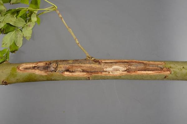 Essentakziekte (Chalara fraxinea). Foto's en Bron: FERA. Open Government Licence