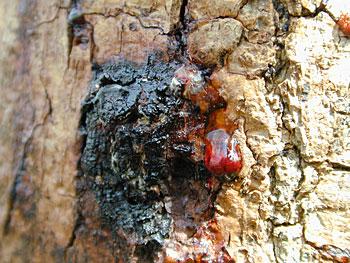 Een bloedende kastanjeboom (Aesculus hippocastanum). Copyright Praktijkonderzoek Plant en Omgeving; Bron: Werkgroep Aesculaap.