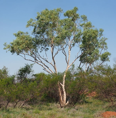 Groeien aan deze eucalyptusboom (E. vitrix) ook goude bladeren? Bron: Wikimedia, Auteur: M. Marathon, CCby 3.0