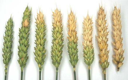 Geheel of gedeeltelijke verbleking van tarwe-aren met Fusarium Head Blight. Bron en copyright:H. Spits and H. Schepers, PPO.