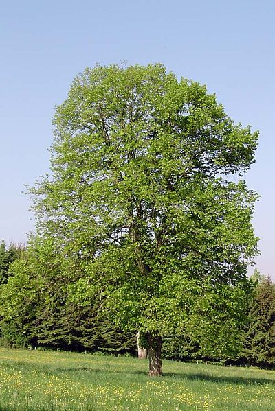 Statige lindeboom (Tilia cordata.). Bron: Wikimedia Commons. GFDL en CCby