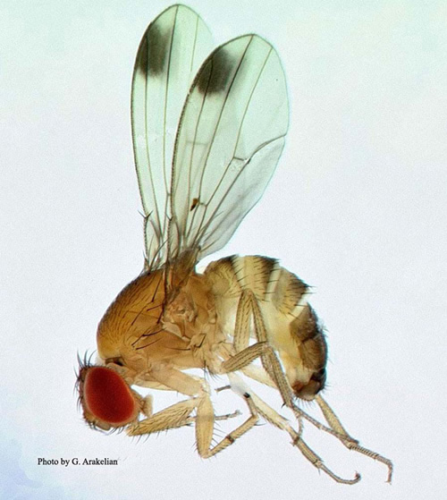 Drosophila suzukii, mannetje. Foto en copyright: Gevork Arakelian, County of Los Angeles Agricultural Commissioner/Weights & Measures.