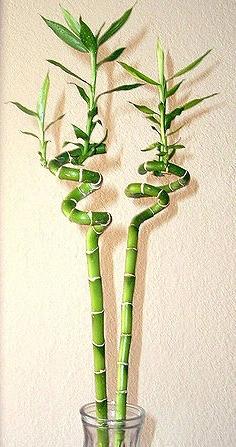 Lucky bamboo (Draceana braunii ), importeur van de Aziatische tijgermug Foto (bewerkt van origineel): TL Spiegel, Wikimedia Commons. CCby2.0.