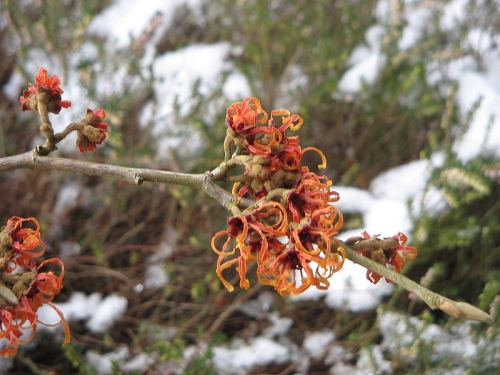 Bloeiende toverhazelaar in de sneeuw (Hamamelis x Jelena) Bron: Wikimedia Commons, Foto: Meneerke Bloem, GNUFree Documentation License.