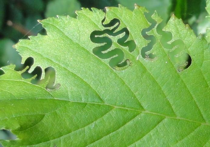 Typisch eetpatroon van de rupsen van de iepenzigzagbladwesp (Aproceros leucopoda). Foto en copyright Dik Vonk.
