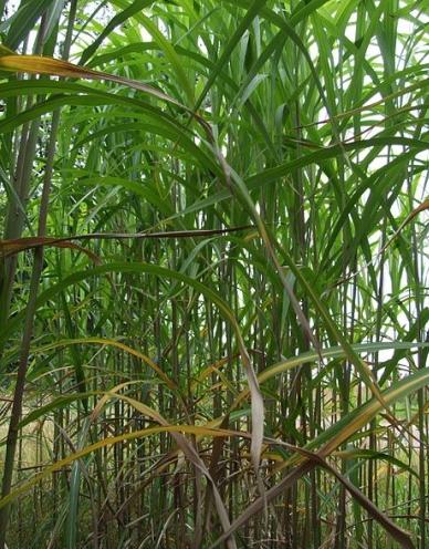 Olifantsgras (Miscanthus giganteus). Bron: Wikimedia Commons, CC-licentie.
