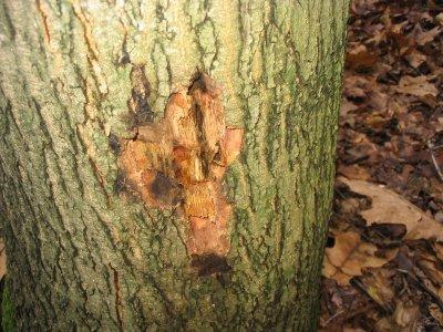 Amerikaanse eik (Quercus rubra) die is aangetast door Phytophthora ramorum. Foto: copytight Plantenziektenkundige Dienst, Wageningen.