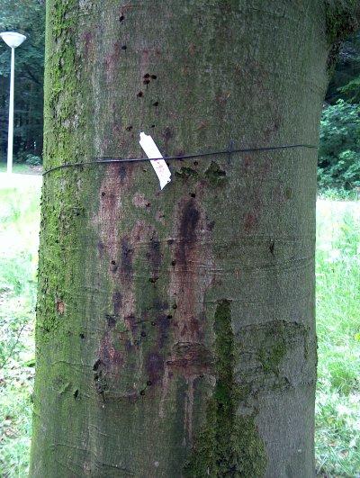 Beuk (Fagus sylvatica) die is aangetast door Phytophthora ramorum. Foto: copyright Plantenziektenkundige Dienst, Wageningen.