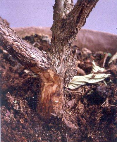 Houtverkleuring door Phytophthora ramorum bij Viburnum bodnantense. Foto: copyright Plantenziektenkundige Dienst, Wageningen.