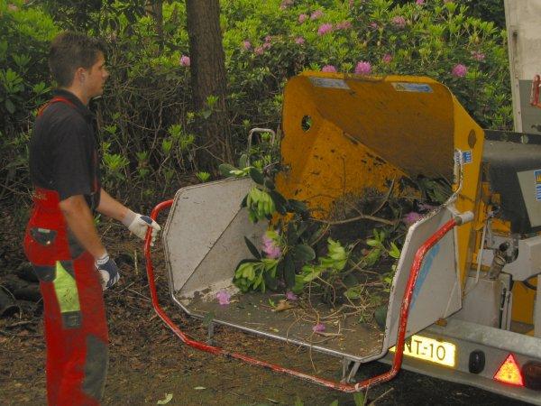 Plantmateriaal dat besmet is met P. ramorum wordt versnipperd. Foto: copyright Plantenziektenkundige Dienst, Wageningen.