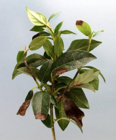 Aantasting van Phytophthora ramorum op Viburnum tinus. Foto: copyright Plantenziektenkundige Dienst, Wageningen.