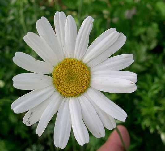 Pyrethrum soort, Tanacetum cinerariifolium. Foto: Kenpei, Bron: Wikimedia,GFDL.