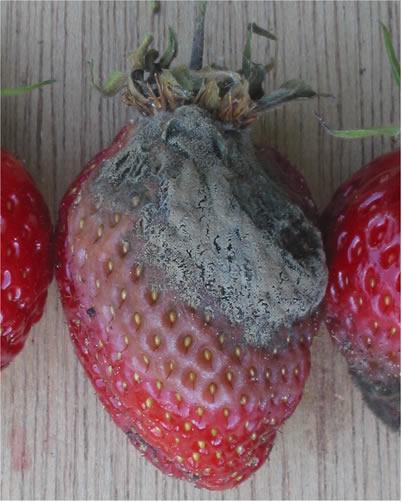 Een typische rot-aardbei. Botrytis cinerea op Fragaria X ananassa. Foto: Rasbak; GFDL; Bron: Wikipedia.