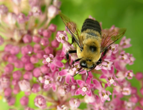 Honingbij met een bijbaantje. Foto: Brandon Keim; Copyright Brandon Keim.