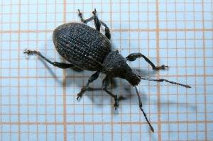 Otiorhynchus sulcatus. Bron: Wikimedia commons, GFDL.