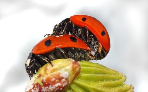 Parende zevenstippelige lieveheersbeestjes (Coccinella septempunctata). Foto: Andre Karwath; CCby; bron: Wikipedia.