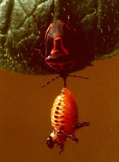 Roofwants valt larve van coloradokever aan. Foto: Duotone; copyright: Laboratorium voor Entomologie, Wageningen Universiteit; Bron: insectenkwartet.