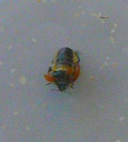 Vleugelloos lieveheersbeestje. Foto: Jan-Kees Goud; bron: stand Koppert BV tijdens the City of Insects.