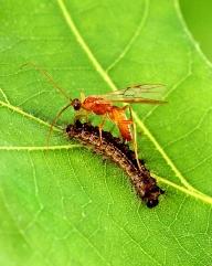 Aleiodes indiscretus sluipwesp die zijn eitjes legt in een rups van de 'plakker' (Lymantria dispar). Foto: Scott Bauer, ARS, USDA; Public Domain.