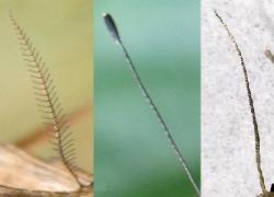 Vlinderantennes. Bron: Wikimedia commons, Bewerking en CCby: B.Kimmel, http://nl.wikipedia.org/wiki/Bestand:Lepidoptera_antenna.png