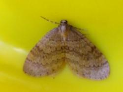 De kleine wintervlinder (Operophtera brumata). Foto: Doriet Willemen