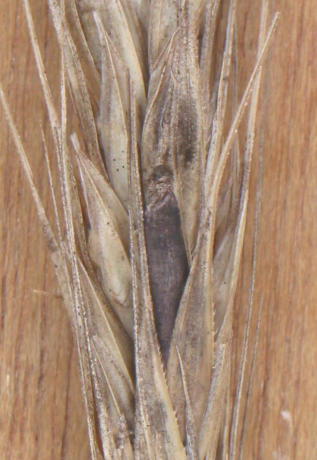 Moederkoren (Claviceps purpurea) op rogge (Secale cereale). Foto: Rasbak; GFDL; Bron: Wikipedia.