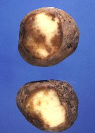 Symptomen van aardappelziekte in de knollen. Bron en copyright: Ohio State University.