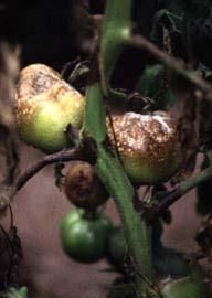 Symptomen van Phytophthora op tomaat. Bron en copyright: Ohio State University Extension.