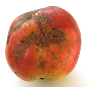 Schurft op appel. Foto: Markus Hagenlocher; GFDL; Bron: Wikipedia.