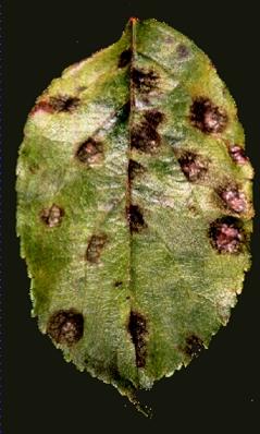 Appelschurft (Venturia inaequalis) op appelblad. Foto: Joe Win; Copyright University of Auckland, Auckland, New Zealand.