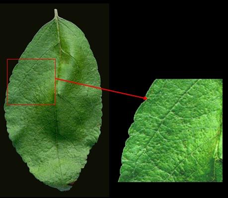 Resistentie tegen appelschurft (Venturia inaequalis) d.m.v. een overgevoeligheidsreactie. Foto: Joe Win; Copyright University of Auckland, Auckland, New Zealand.