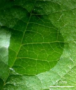 Vatbaar appelblad waarop sporen van Venturia inaequalis zijn aangebracht. Foto: Joe Win; Copyright University of Auckland, Auckland, New Zealand.