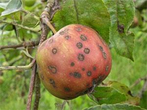 Schurft (Venturia inaequalis) op appel. Foto Copyright: PPO-Fruit.