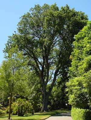 Ulmus x hollandica (gezond). Foto: Wouter Hagens; GFDL; Bron: Wikipedia.