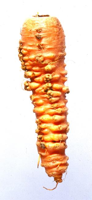 Symptomen op winterpeen, veroorzaakt door wortelknobbelaaltje Meloidogyne fallax. Foto en copyright; Plantenziektekundige Dienst (nVWA)