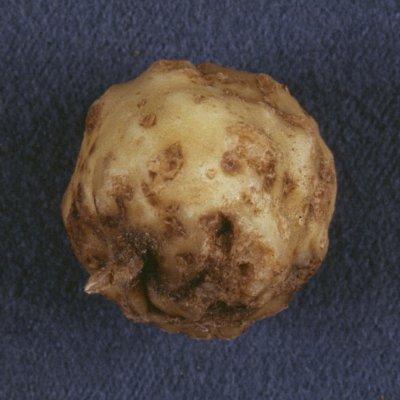 Aardappel aangetast door Meloidogyne chitwoodi. Foto copyright Plantenziektekundige Dienst, Wageningen/Laboratorium voor Nematologie, Wageningen Universiteit.