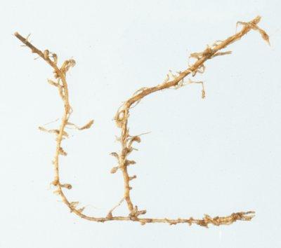 Aardappelwortels aangetast door Meloidogyne minor. Foto copyright Plantenziektekundige Dienst, Wageningen/Laboratorium voor Nematologie, Wageningen Universiteit.
