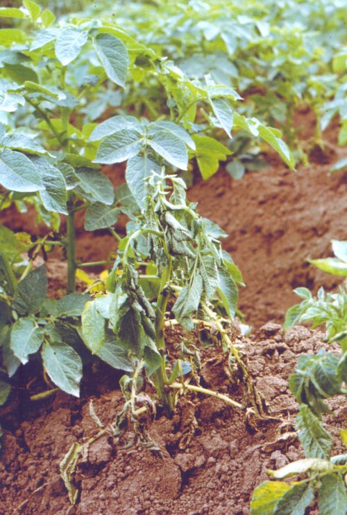 Typische symptomen van bruinrot (Ralstonia solanacearum) op aardappel (Solanum tuberosum). Foto: J.D. Janse; Copyright: CABI, Wallingford, UK/Plantenziektenkundige Dienst, gebruikt met toestemming; Bron: Phytobacteriology - Principles and Practice, J.D. Janse, 2005.
