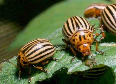 Coloradokever (Leptinotarsa decemlineata). Foto: Tibor Bukovinszky; copyright Wageningen Universiteit, Laboratorium voor Entomologie; Bron: Insectenkwartet.