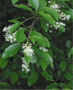 Amerikaanse vogelkers (Prunus serotina) ook wel bospest genoemd. Foto: Rasbak; GFDL; Bron: Wikipedia.