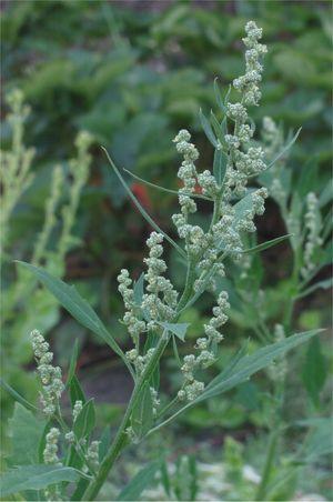 Bloeiwijze van melganzenvoet (Chenopodium album). Foto: Rasbak; GFDL; Bron: Wikipedia.