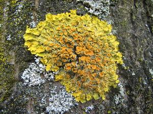 Groot dooiermos (Xanthoria parietina). Foto: Taka; GFDL / CCby; Bron: Wikipedia.