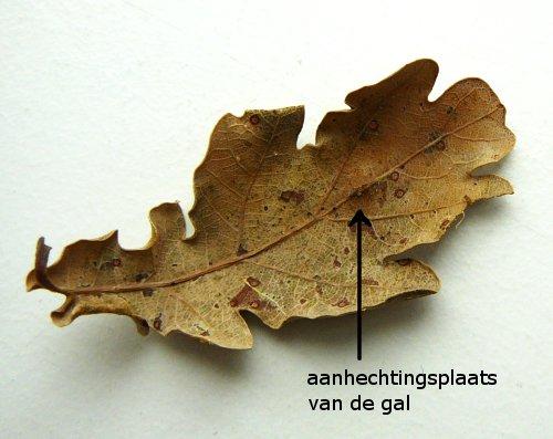 Gal van de eikengalwesp (Cynips quercusfolii). Foto: Jan-Kees Goud.