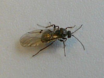 Eikengalwesp (Cynips quercusfolii). Foto: Jan-Kees Goud.